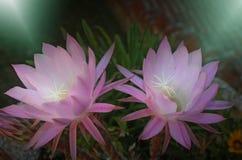 Pygmaeocereus, cactus flowers. Stock Photography