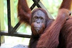 Pygmaeus de Pongo de Born?o-orang-outan-Utan - Semenggoh Born?o Malaisie Asie images libres de droits
