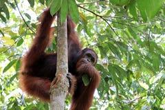 Pygmaeus del Pongo de Borneo-Orang-Utan - Semenggoh Borneo Malasia Asia imagen de archivo libre de regalías