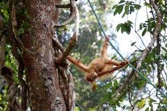 Pygmaeus del Pongo de Borneo-Orang-Utan - Semenggoh Borneo Malasia Asia imágenes de archivo libres de regalías
