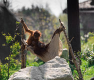 Pygmaeus del Pongo del orangután de Bornean en Chester Zoo, Cheshire Imagen de archivo libre de regalías