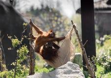Pygmaeus del Pongo del orangután de Bornean en Chester Zoo, Cheshire Foto de archivo