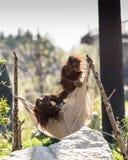Pygmaeus del pongo dell'orangutan di Bornean a Chester Zoo, Cheshire Fotografia Stock