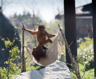 Pygmaeus do Pongo do orangotango de Bornean em Chester Zoo, Cheshire imagens de stock royalty free
