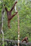 Pygmaeus för Bornean orangutangPongo på trädet under regn i den lösa naturen Central wurmbii för pygmaeus för Bornean orangutangP Royaltyfri Fotografi