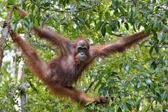 Pygmaeus för Bornean orangutangPongo på trädet under regn i den lösa naturen Central wurmbii för pygmaeus för Bornean orangutangP Royaltyfria Bilder