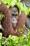 Pygmaeus för Bornean orangutangPongo på trädet under regn i den lösa naturen Central wurmbii för pygmaeus för Bornean orangutangP Royaltyfri Foto
