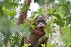 Pygmaeus för Bornean orangutangPongo på trädet under regn i den lösa naturen Central wurmbii för pygmaeus för Bornean orangutangP Royaltyfri Bild
