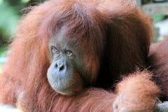 Pygmaeus Pongo Борнео-Orang-Utan - Semenggoh Борнео Малайзия Азия стоковая фотография rf