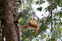 Pygmaeus Pongo Борнео-Orang-Utan - Semenggoh Борнео Малайзия Азия стоковое изображение rf