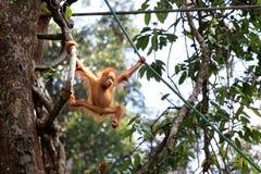 Pygmaeus Pongo Борнео-Orang-Utan - Semenggoh Борнео Малайзия Азия стоковое фото rf