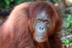 Pygmaeus van Borneo-orang-oetan-Utan Pongo - Semenggoh Borneo Maleisië Azië vector illustratie