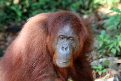 Pygmaeus van Borneo-orang-oetan-Utan Pongo - Semenggoh Borneo Maleisi? Azi? stock illustratie