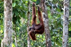 Pygmaeus van Borneo-orang-oetan-Utan Pongo - Semenggoh Borneo Maleisi? Azi? vector illustratie