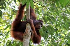 Pygmaeus van Borneo-orang-oetan-Utan Pongo - Semenggoh Borneo Maleisi? Azi? royalty-vrije illustratie