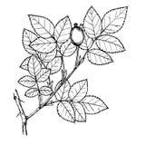 pygmea Rosa Στοκ φωτογραφίες με δικαίωμα ελεύθερης χρήσης