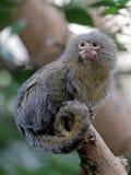 Pygmee-Affe Lizenzfreie Stockbilder