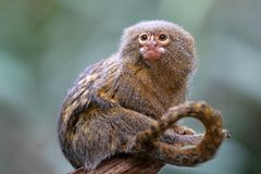 Pygmee-Affe Lizenzfreies Stockbild