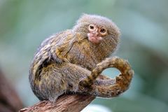 Pygmee-Affe Lizenzfreie Stockfotografie