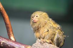 Pygmee marmoset Royalty-vrije Stock Fotografie