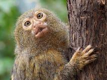 Pygmee monkey Stock Images