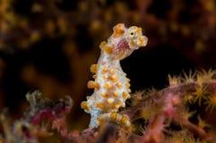 Pygmee seahorse Indonesia Sulawesi. Pygmee seahorse yellow. Indonesia Sulawesi. Indonesia Sulawesi Lembehstreet Royalty Free Stock Photos