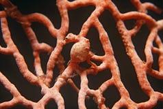Pygmee seahorse op gorgonian koraal Royalty-vrije Stock Foto's