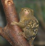 Pygmäenmarmoset Lizenzfreie Stockfotografie