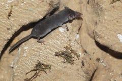 Pygmy άσπρος-οδοντωτός shrew στοκ εικόνες με δικαίωμα ελεύθερης χρήσης