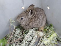 Pygmy επανεντοπισμός κουνελιών Στοκ Φωτογραφία