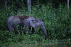 Pygmy ελέφαντας Μπόρνεο Στοκ Φωτογραφία