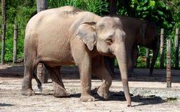 Pygmy ελέφαντας του Μπόρνεο Στοκ Εικόνες