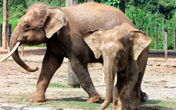 Pygmy ελέφαντας του Μπόρνεο Στοκ Εικόνα