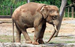 Pygmy ελέφαντας του Μπόρνεο Στοκ εικόνες με δικαίωμα ελεύθερης χρήσης