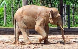 Pygmy ελέφαντας του Μπόρνεο Στοκ φωτογραφία με δικαίωμα ελεύθερης χρήσης