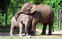 Pygmy ελέφαντας του Μπόρνεο Στοκ Φωτογραφία