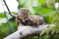Pygmy κινηματογράφηση σε πρώτο πλάνο marmoset (pygmaea Cebuella) Στοκ φωτογραφία με δικαίωμα ελεύθερης χρήσης