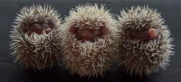 Pygmy σκαντζόχοιροι στοκ φωτογραφία