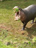 Pygmy σύλληψη Hippo! Στοκ Εικόνα