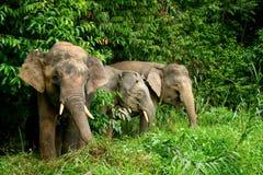 pygmy ελεφάντων Στοκ Εικόνα