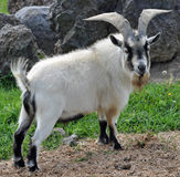 Pygmy Billy Goat. A Pygmy billy goat on a farm in Idaho stock photography