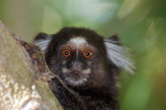 Pygmy callithrix. A pygmy callithrix (common marmoset) looking sharp Stock Photography