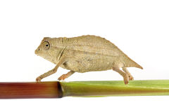 Pygmy Chameleon. A macro shot of a pygmy leaf chameleon (Rhampholeon Brevicaudatus) walking on a plant stem, shot on a solid white background. This little guy Royalty Free Stock Images