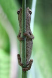 Pygmy chameleon Stock Photography