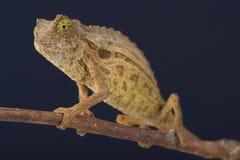 Pygmy chameleon / Rieppeleon brevicaudatus Stock Photo