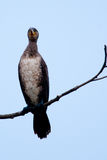 Pygmy Cormorant on a branch Royalty Free Stock Image