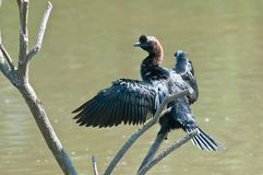 Pygmy cormorant Royalty Free Stock Images