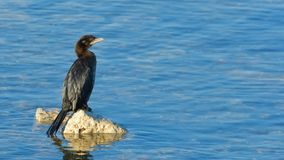 Pygmy cormorant & x28;Microcarbo pygmeus& x29;. Sitting on a rock Royalty Free Stock Image