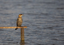 Pygmy Cormorant. A pygmy cormorant is perching on a piece of wood on the sea Stock Photo