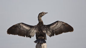 Pygmy Cormorant Wingspan. A pygmy cormorant trying to dry her wings Stock Image